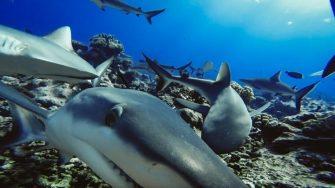Preocupación científica ante escasez de tiburones en océanos alrededor del mundo