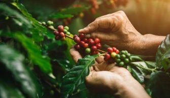 El Tolima es finalista en concurso nacional de cafés especiales