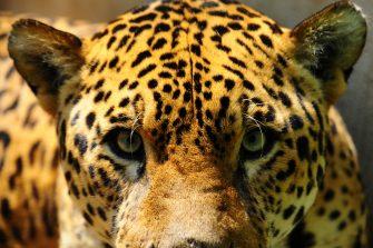 El jaguar: Ícono del desarrollo sostenible para América Latina