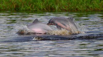 El delfín gris (tucuxi) es clasificado como en peligro de extinción según la lista Roja de la UICN