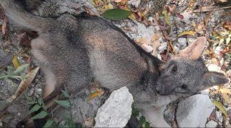 Zorro fue rescatado en malas condiciones en Girardot