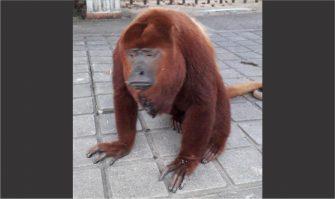 Denuncia: mono aullador podría ser sacrificado por la comunidad en el municipio de Piedras