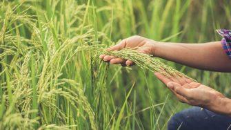 Tras caída del precio de la carga, Viceministro de Agricultura sugirió al gremio arrocero pensar en cultivos alternativos